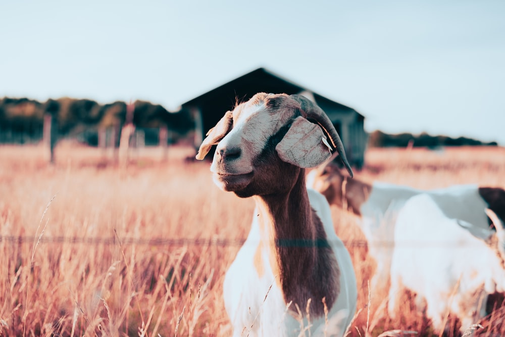 white and brown goat on brown grass field during daytime