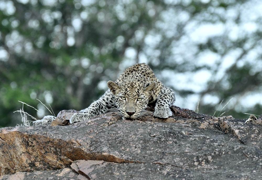 leopard lying on brown rock during daytime