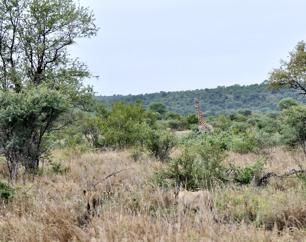 brown giraffe on brown grass field during daytime