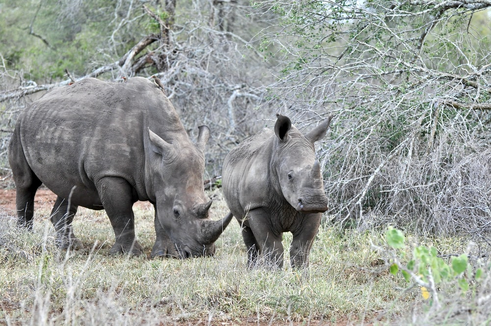 gray rhinoceros on green grass field during daytime