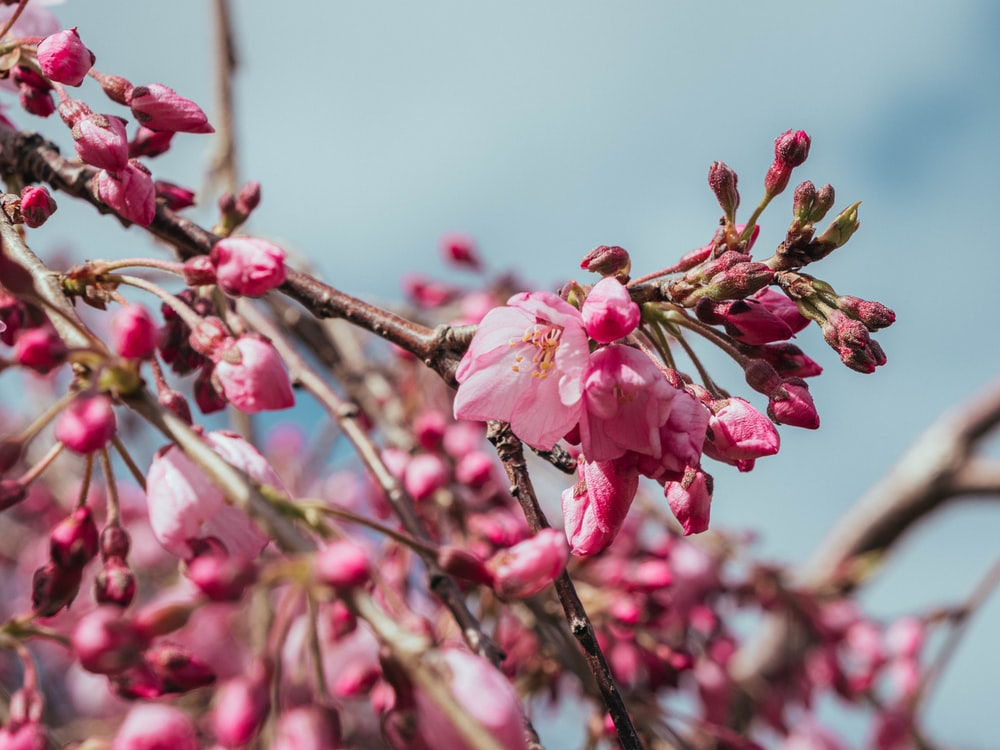 pink cherry blossom in bloom during daytime