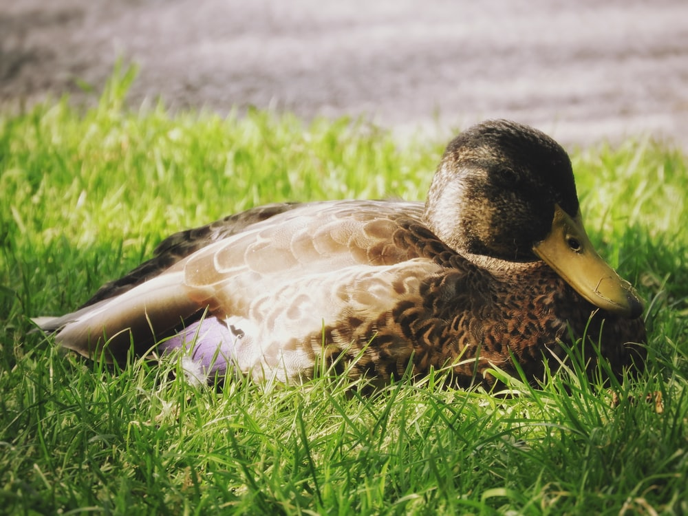 brown and white duck on green grass during daytime