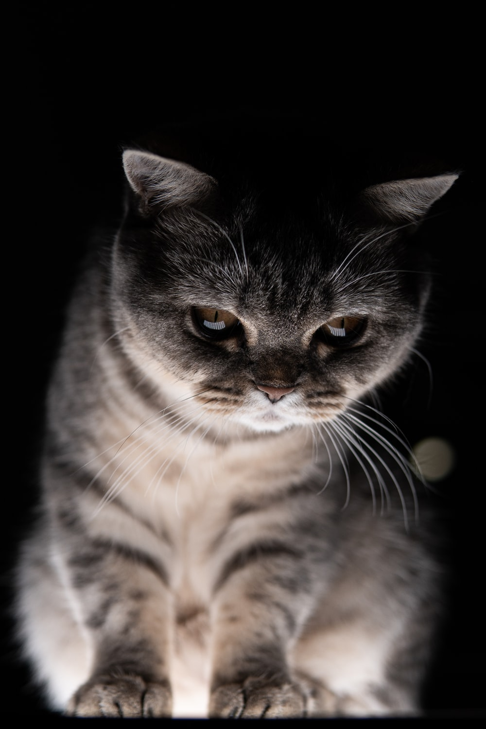 silver tabby cat with black background
