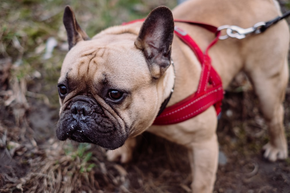fawn pug with red leash
