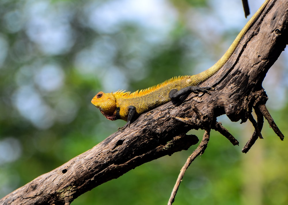 yellow and green bearded dragon on brown tree branch during daytime