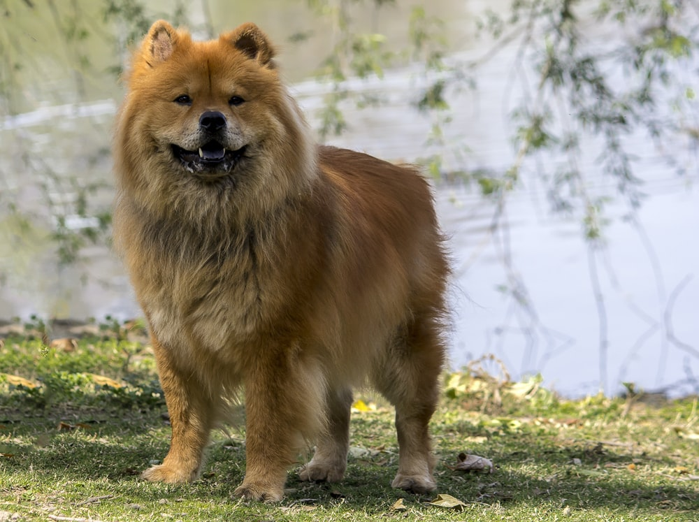 brown long coated dog on green grass during daytime