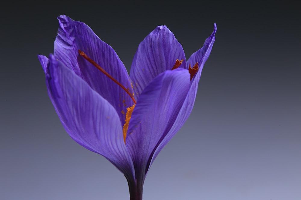 purple flower with white background