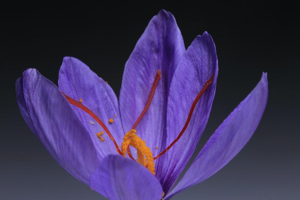 purple crocus in bloom close up photo
