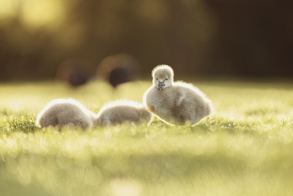white ducklings on green grass during daytime