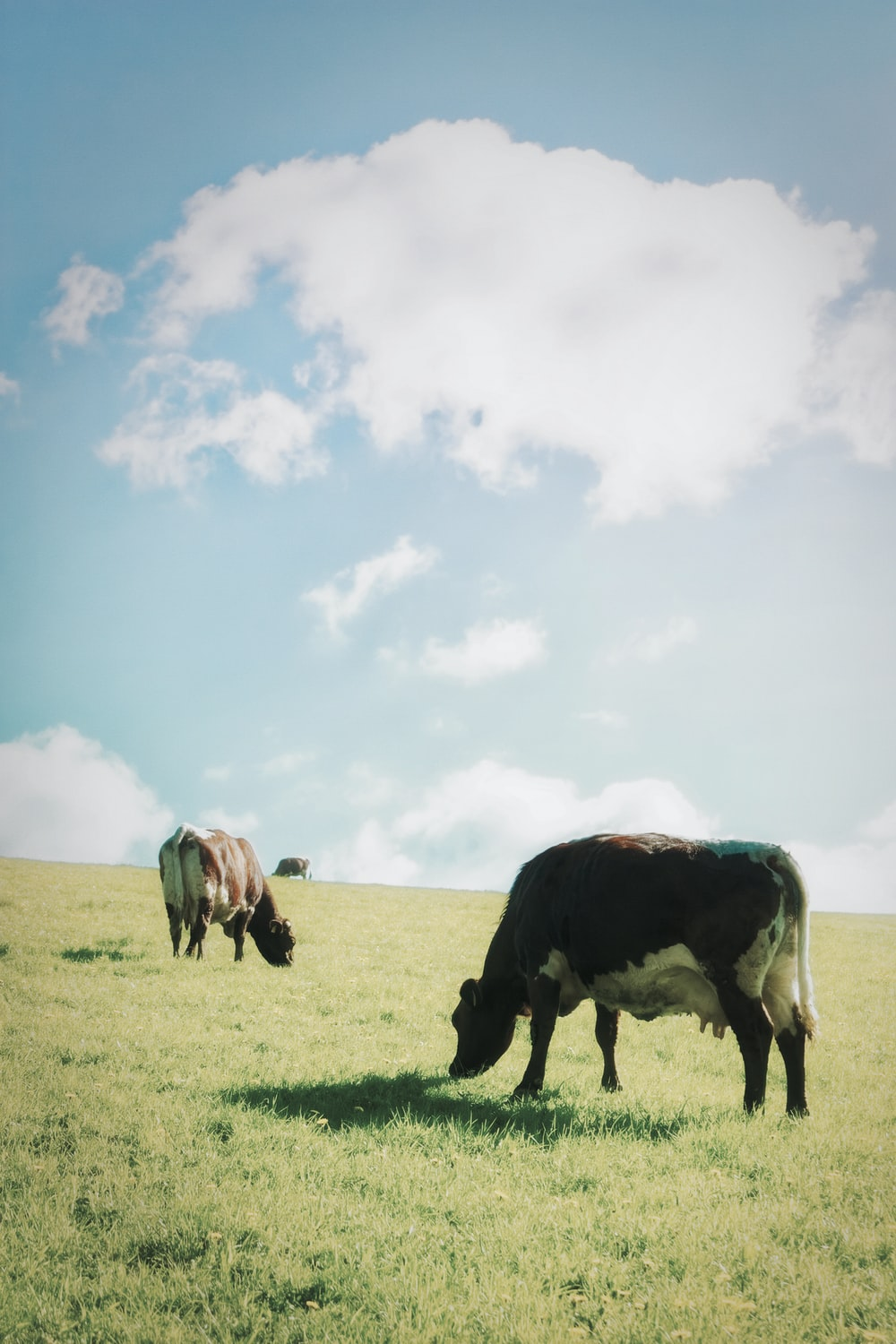 herd of cows on green grass field under white clouds and blue sky during daytime