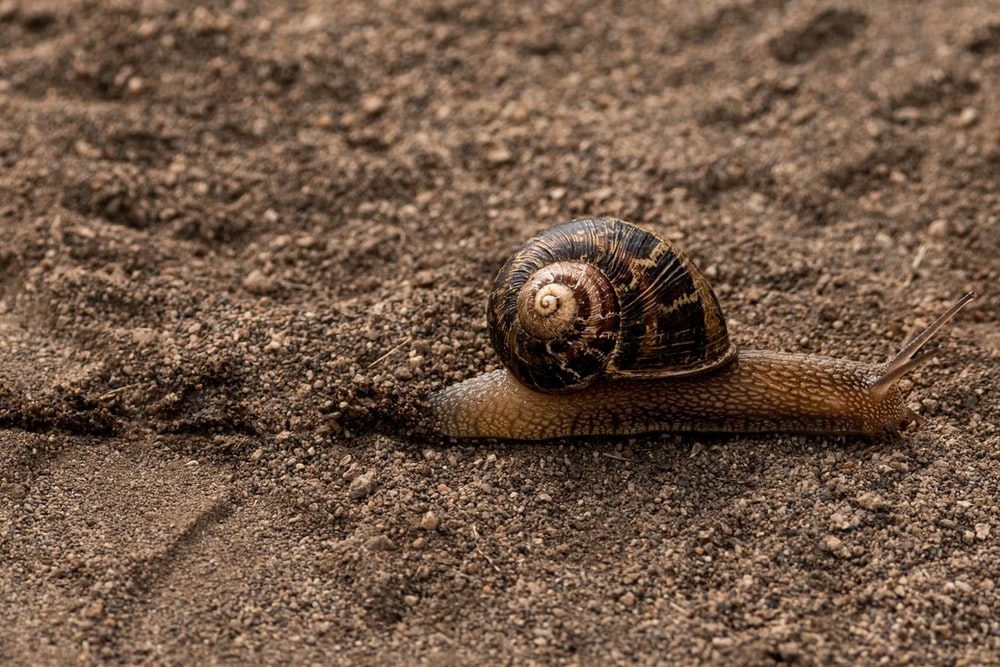 brown snail on brown sand during daytime
