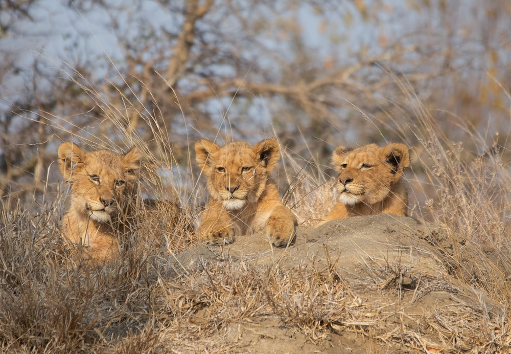 2 brown lion cubs on brown grass field during daytime