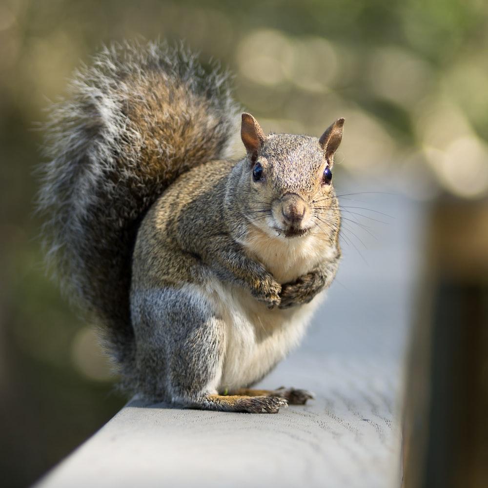gray squirrel on white textile