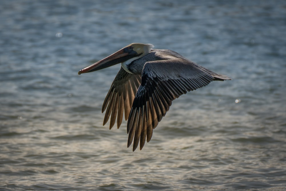 pelican flying over the sea during daytime
