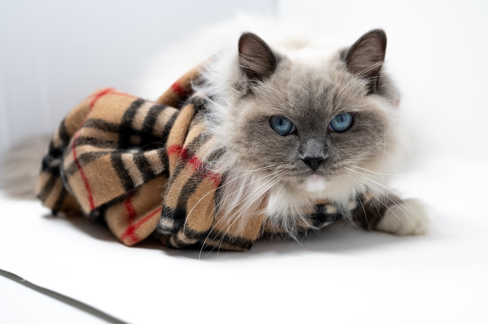 white and gray cat covered with orange and black blanket