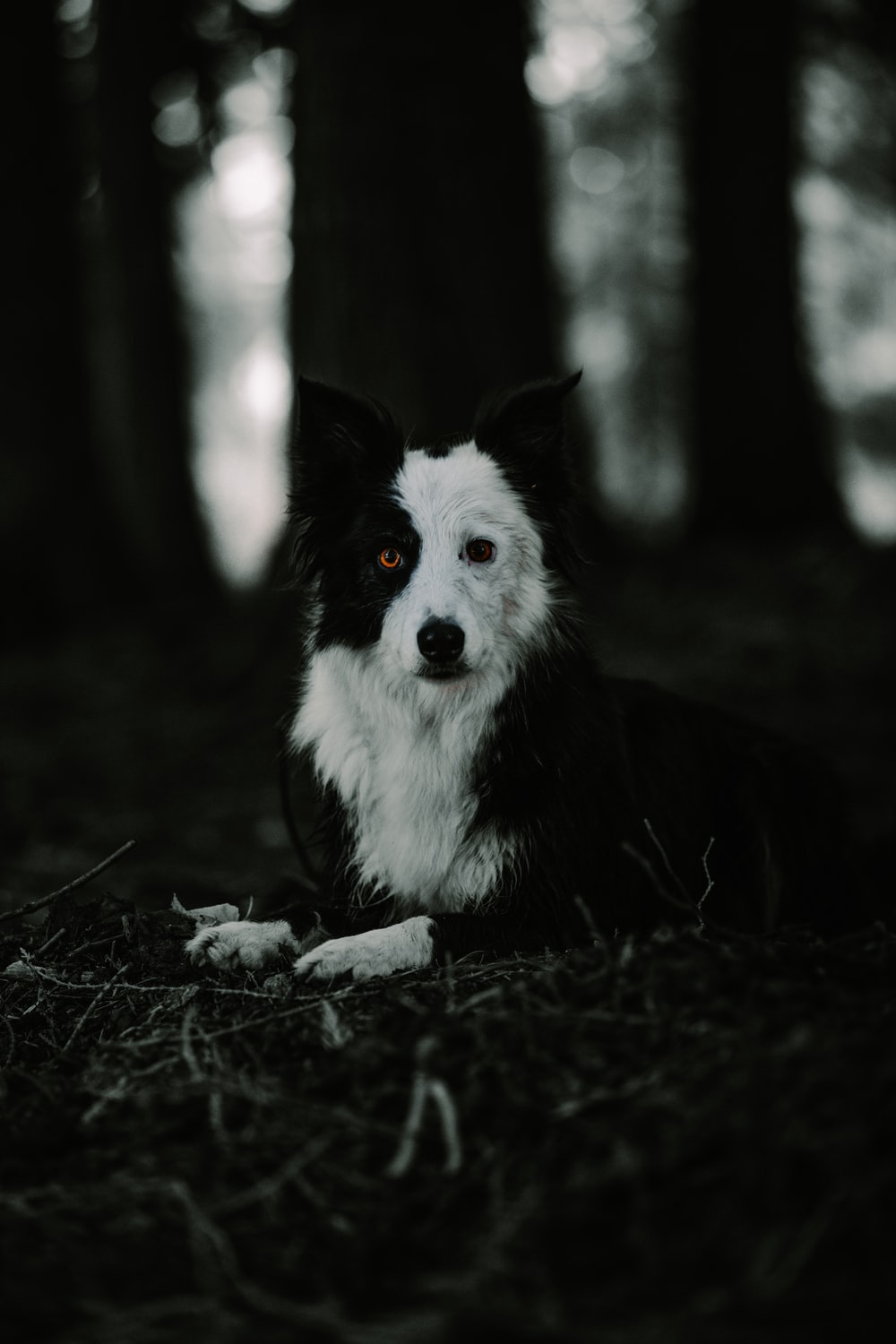 grayscale photo of border collie lying on ground