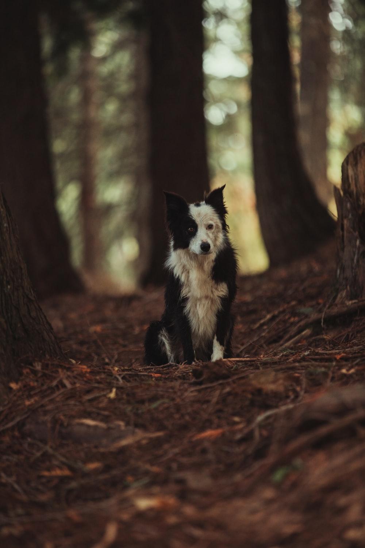 black and white border collie puppy sitting on ground