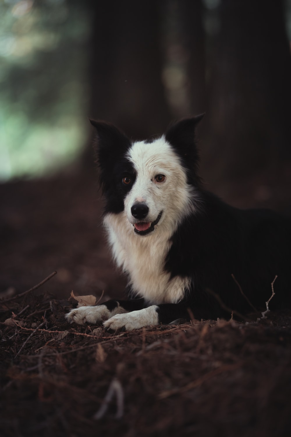 black and white border collie lying on ground