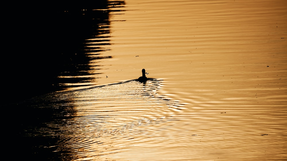 duck on water during daytime