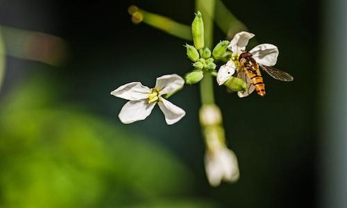green hornet facts