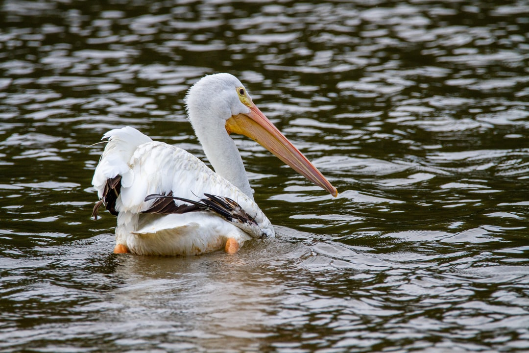 An American white pelican swimming in the lake.