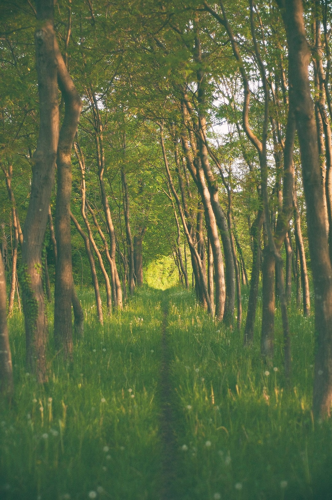 A grassy trail through a grove on a sunny day