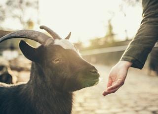 person feeding goat
