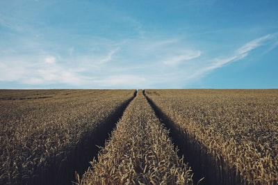 landscape photography of corn field