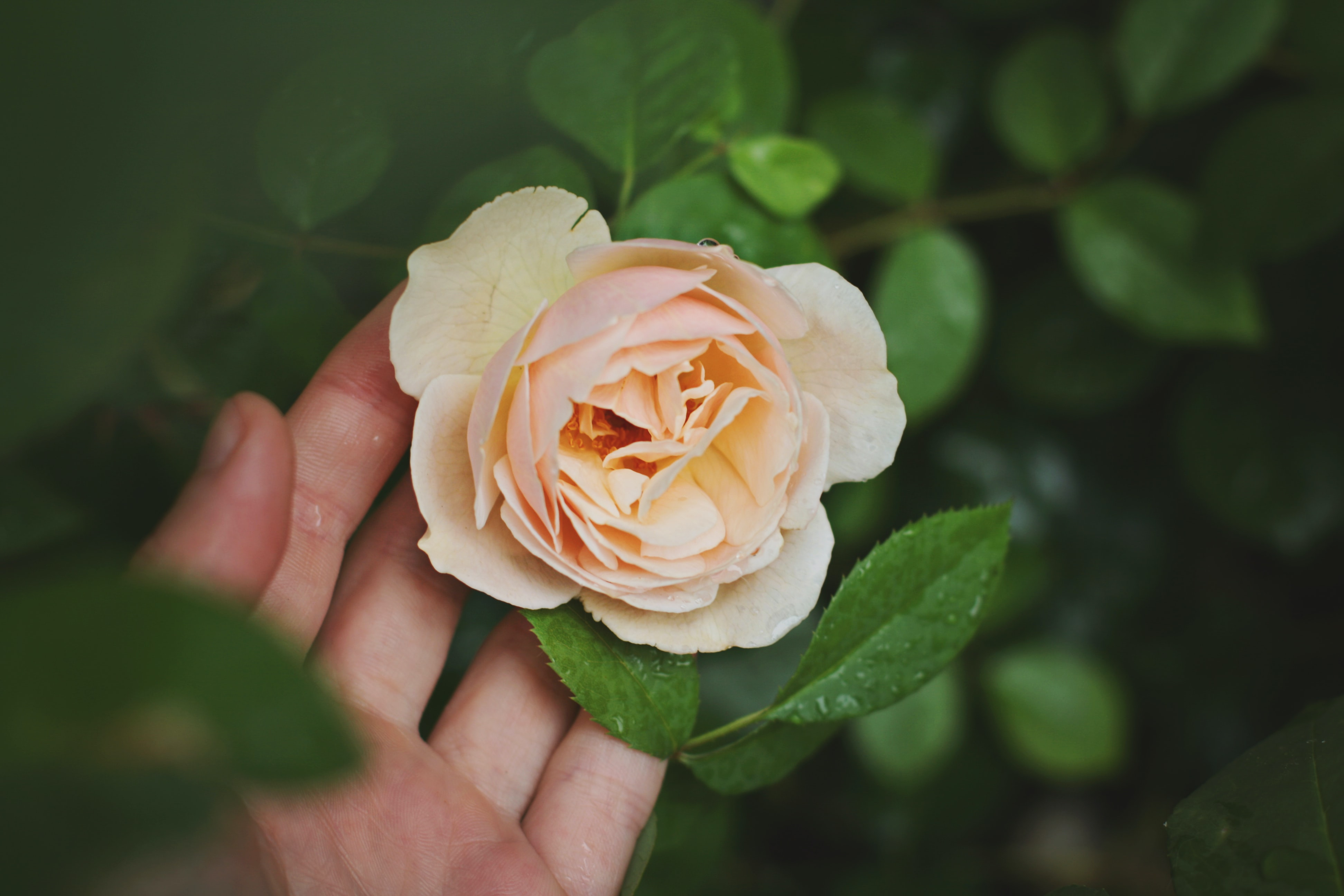 A person's hand gently touching the bottom of a white rose