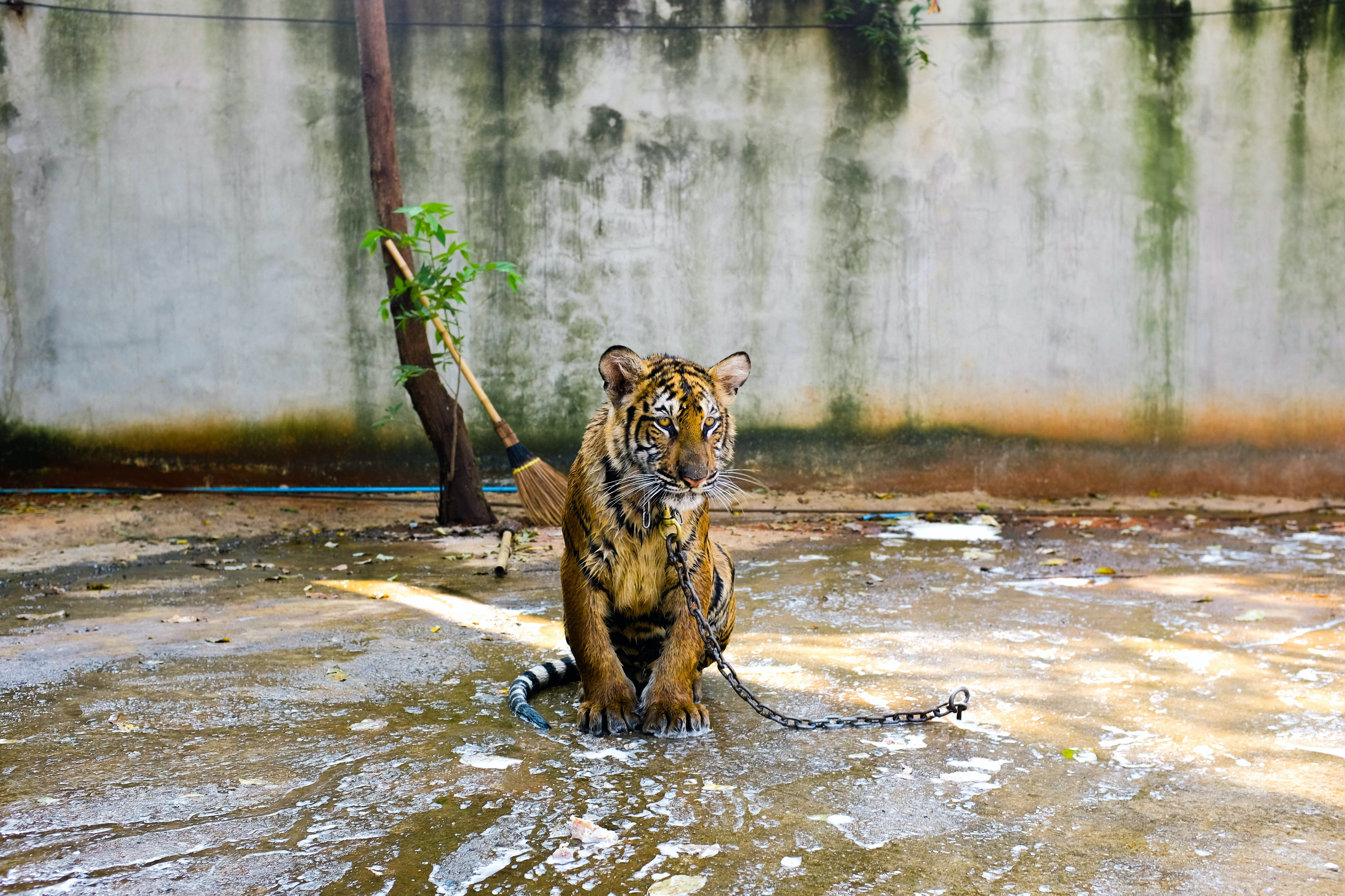 Sad tiger in captivity in puddle on chain in zoo with brush, tree, white wall background