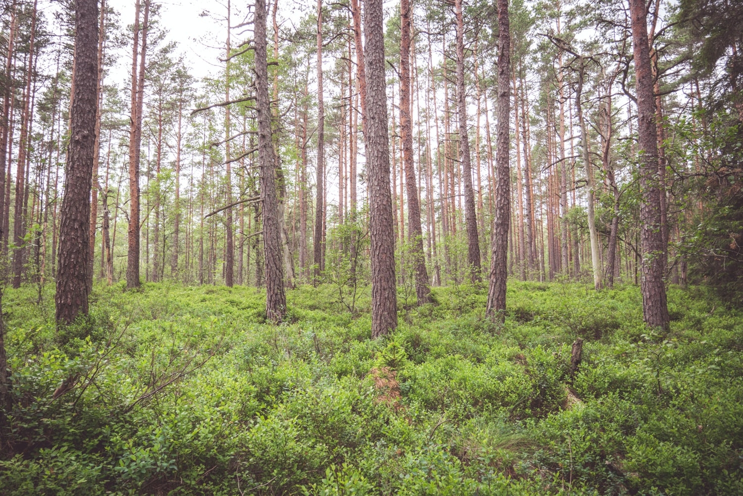 A group of coniferous trees in dense green underbrush