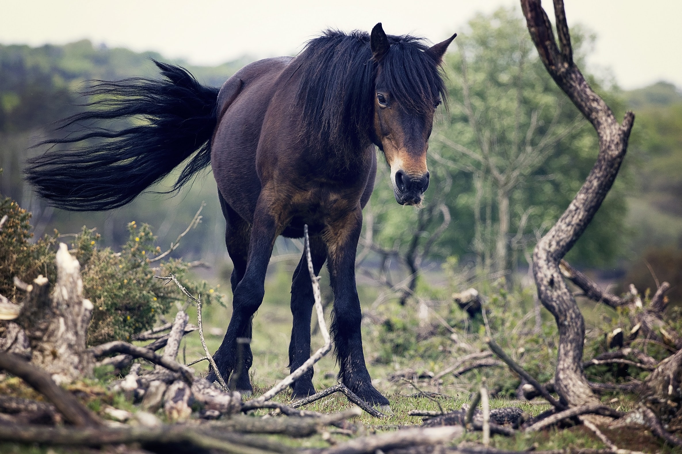 A dark horse with a long black tail treading on gnarly branches