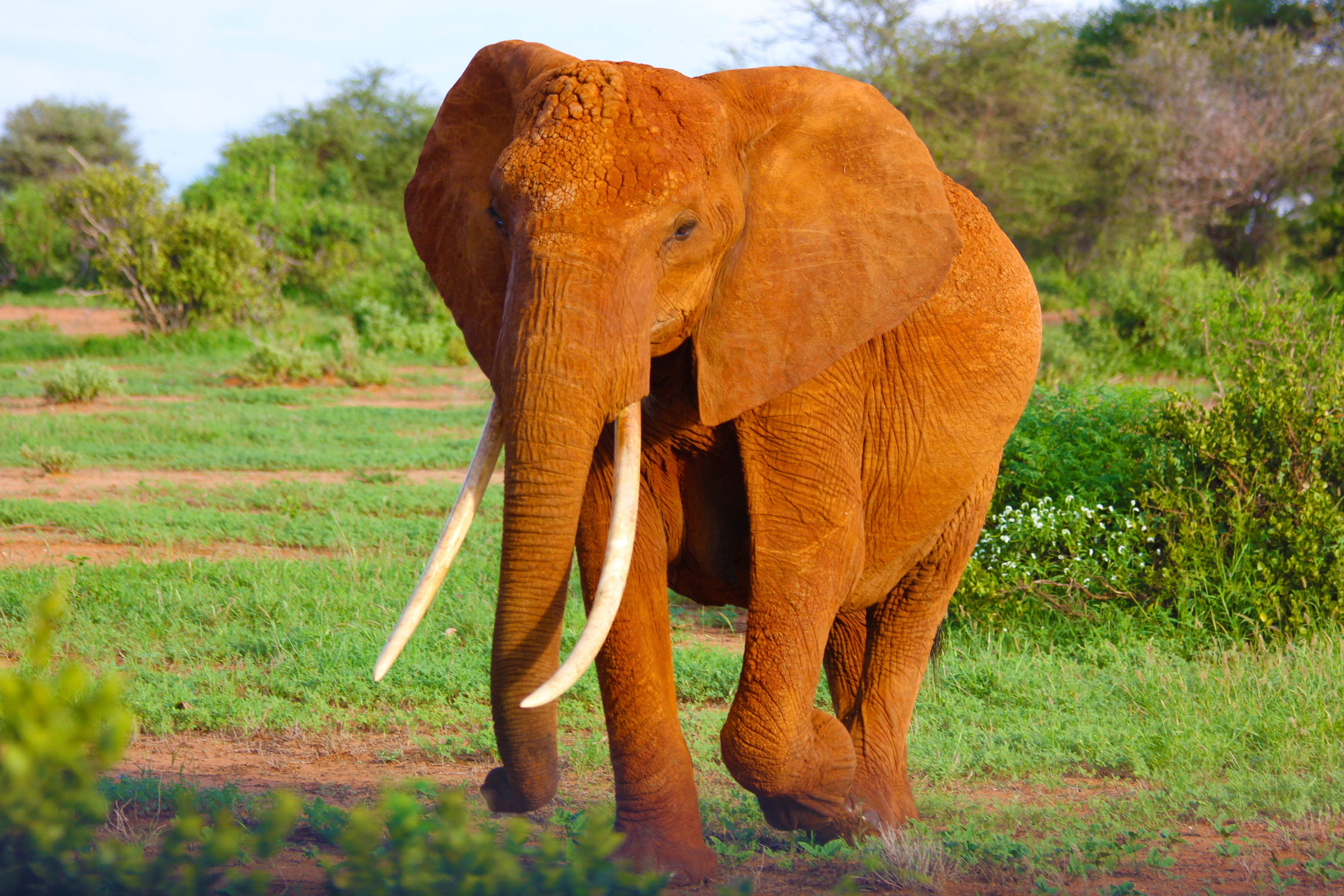 A long-tusked elephant marching on a sunlit grassy plain