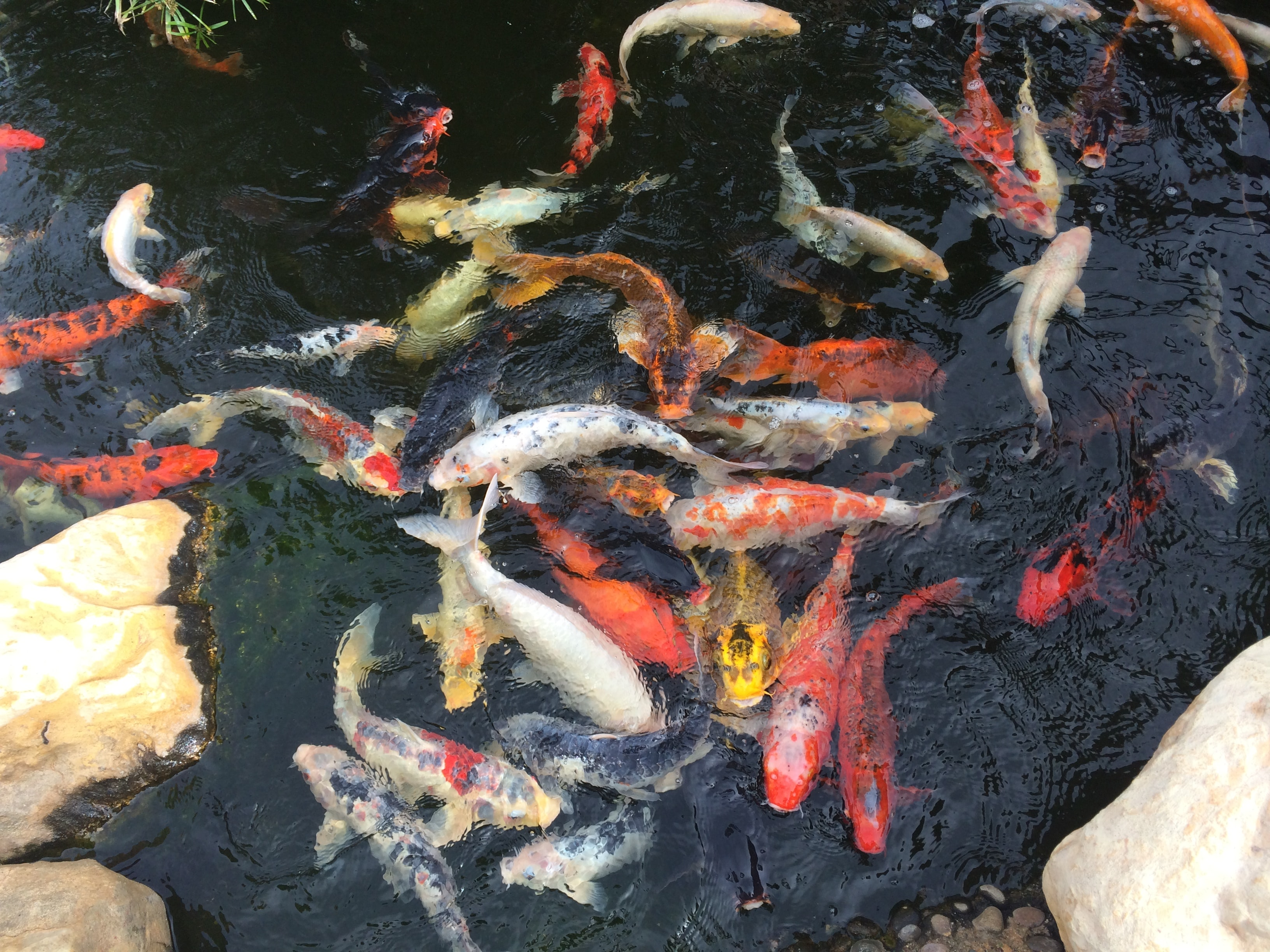 koi fish in body of water