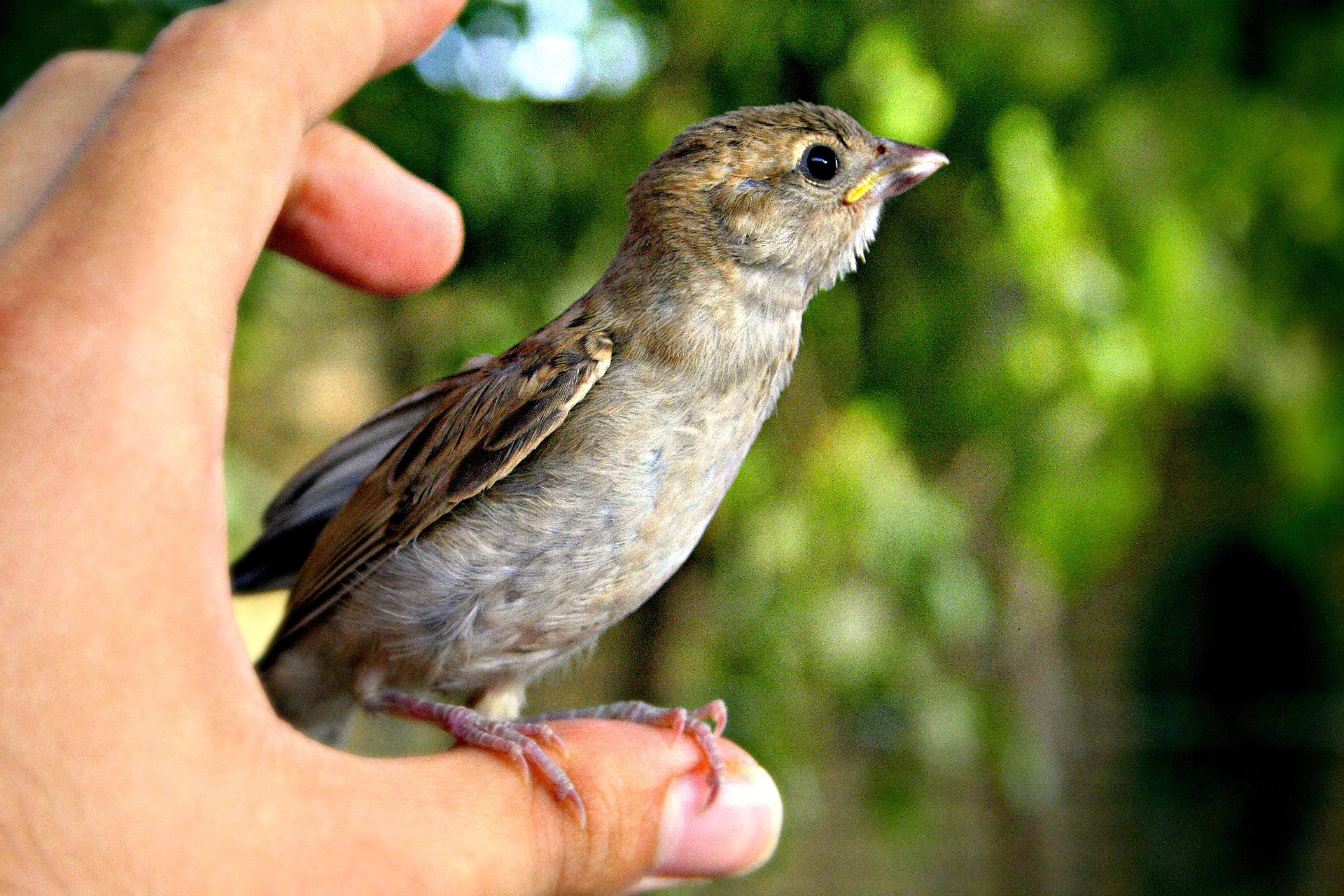short-beak bird on person thumb