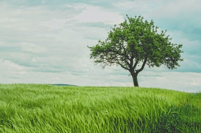 Tree in green wheat field