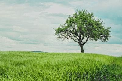 Tree in green wheat field