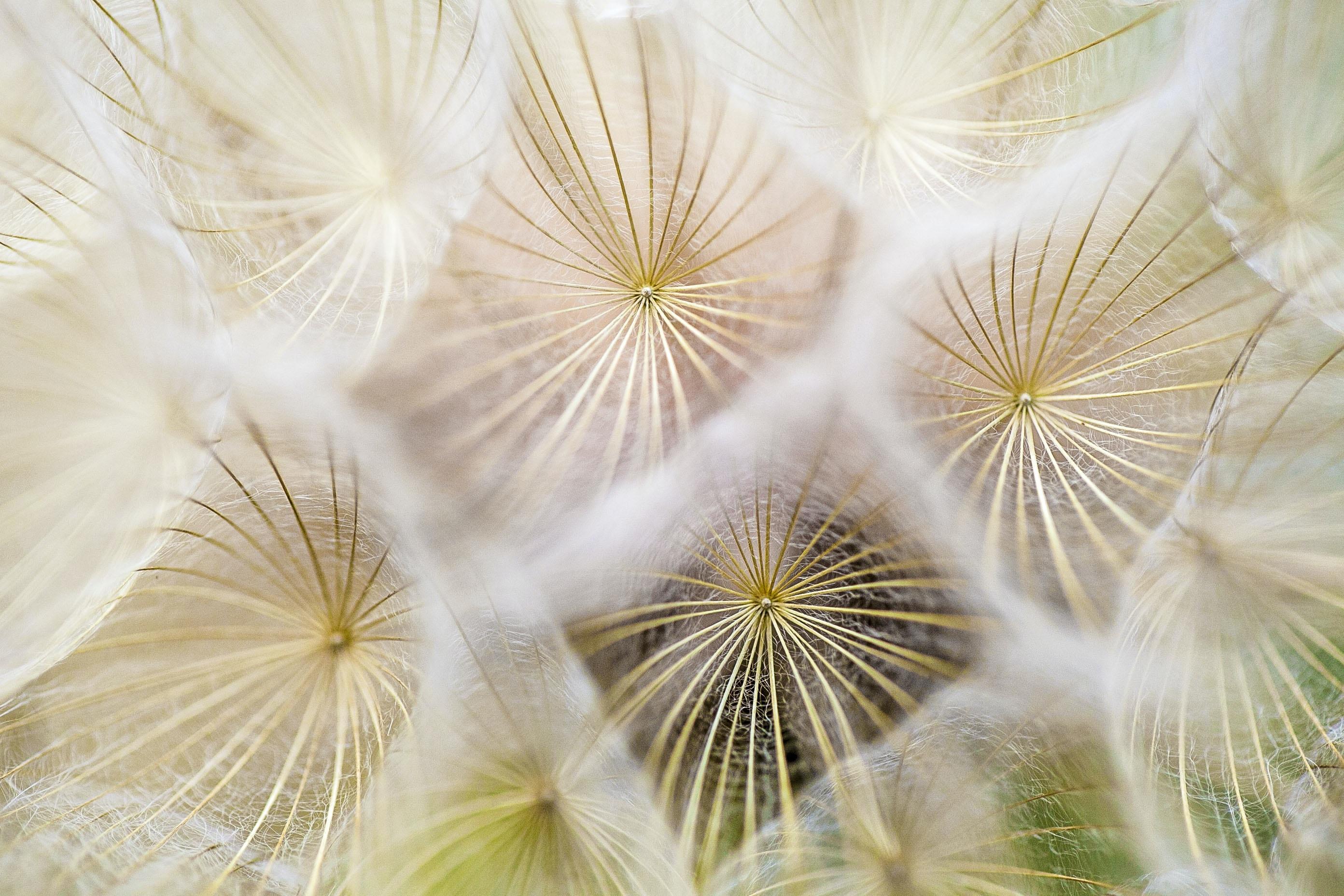A macro shot of a series of seeding dandelions