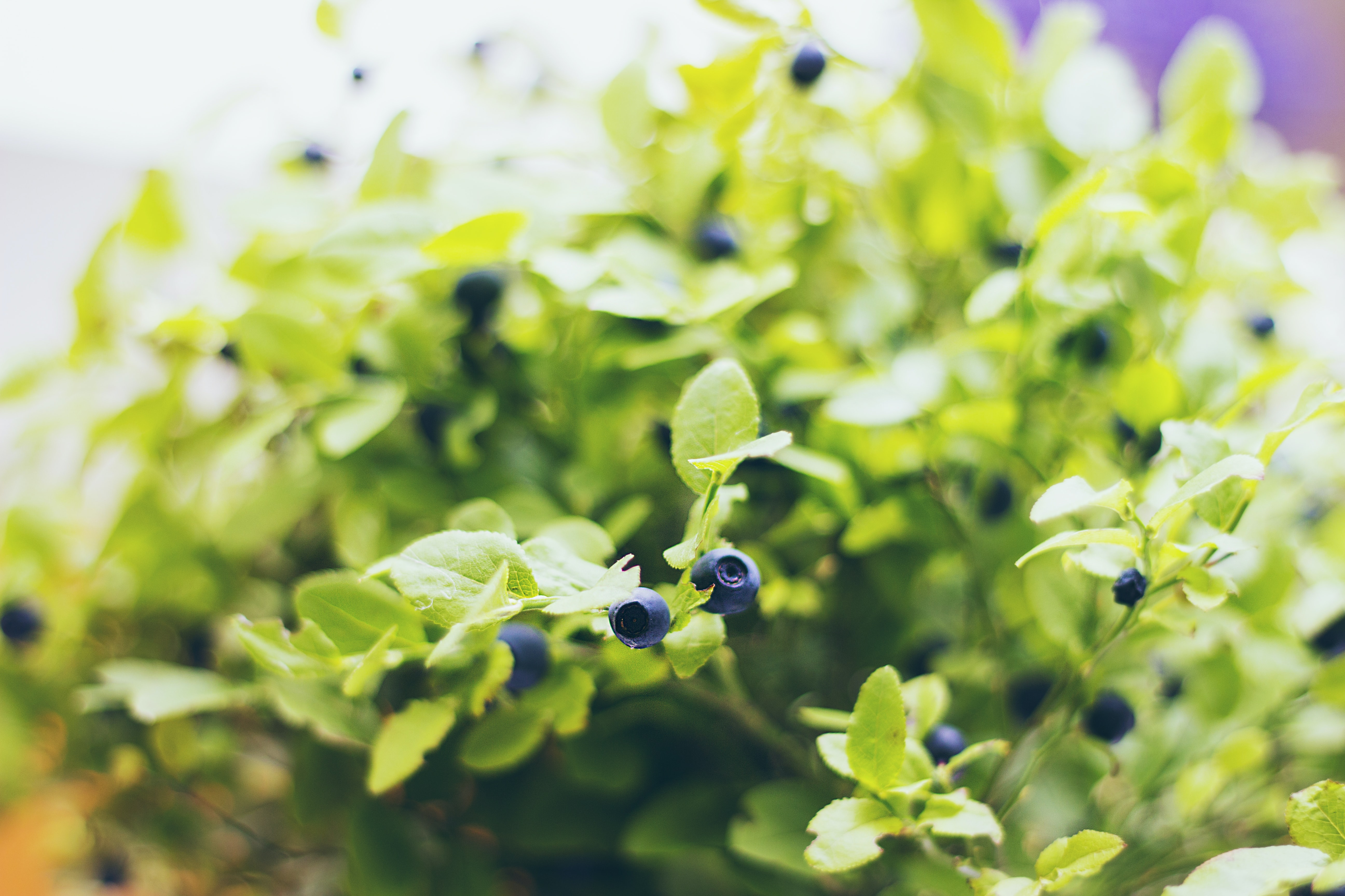 selective focus of blueberry plant