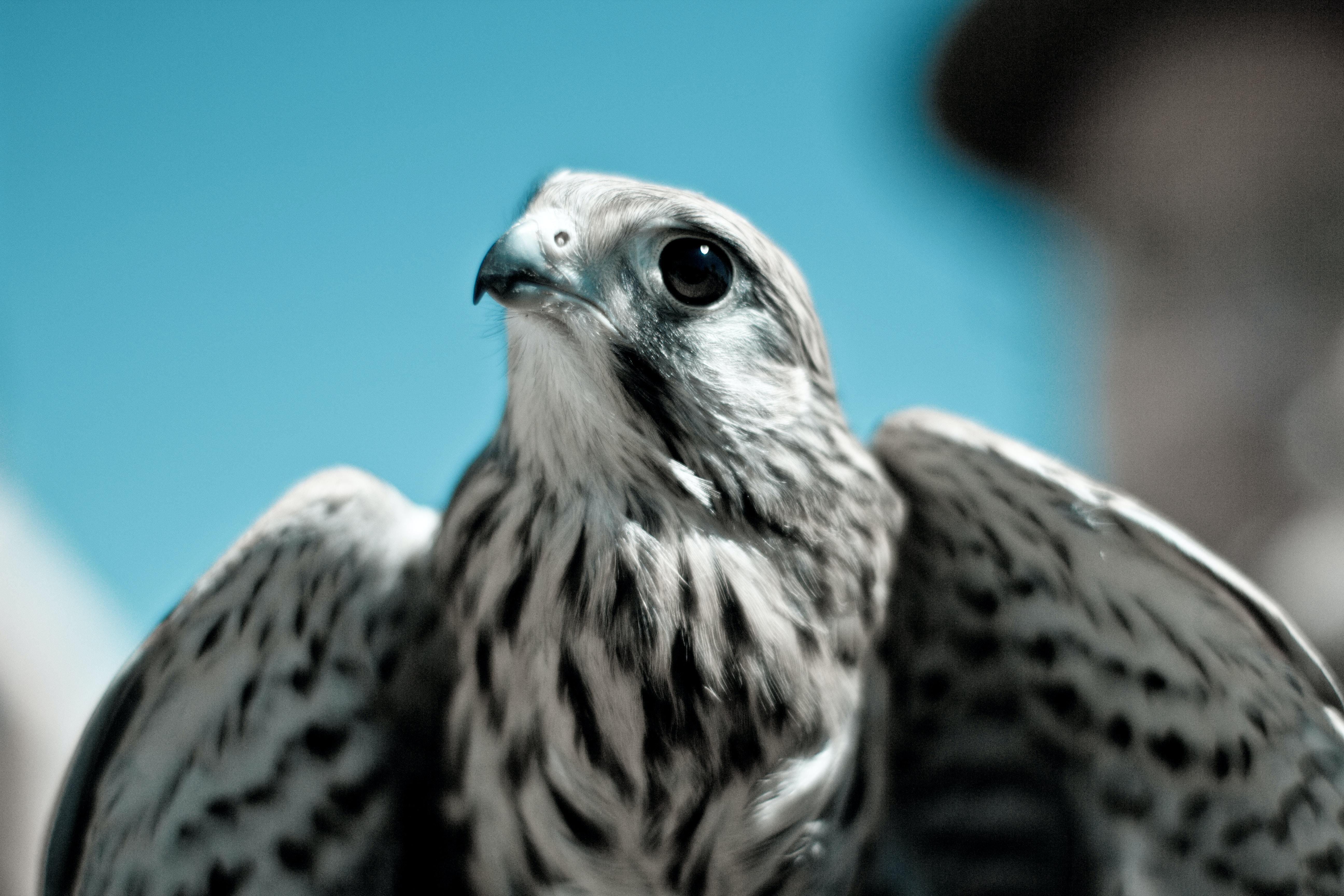 white and black eagle