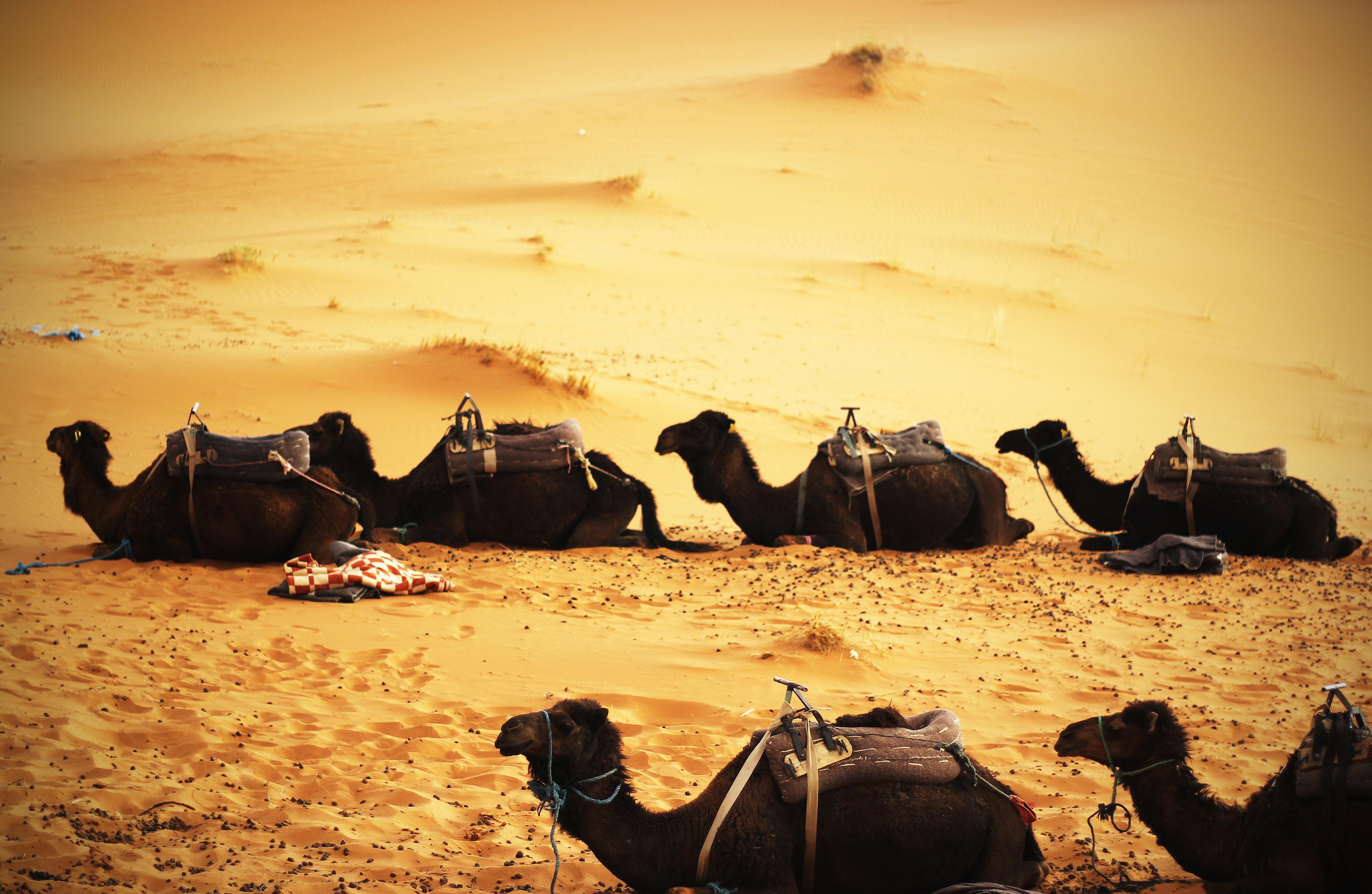 Camels take a break in the sandy desert