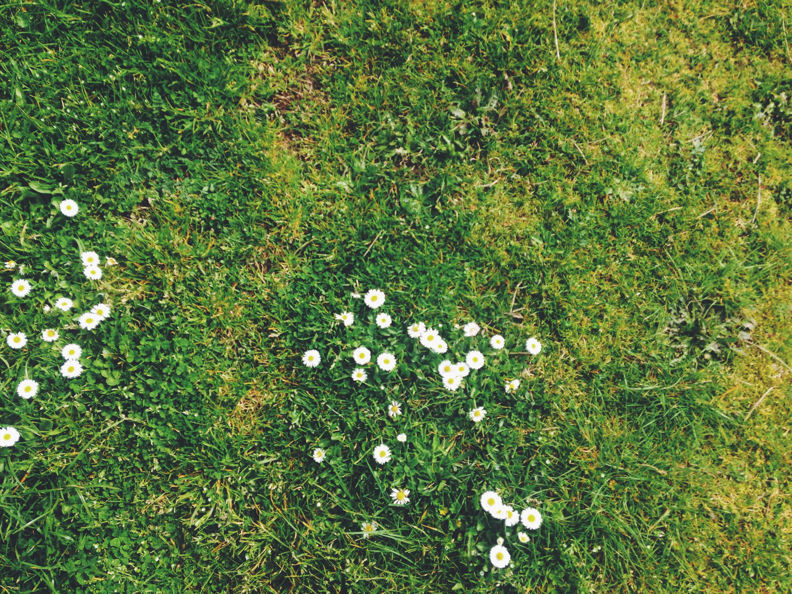 Daisy flowers on green grass lawn in Spring from above