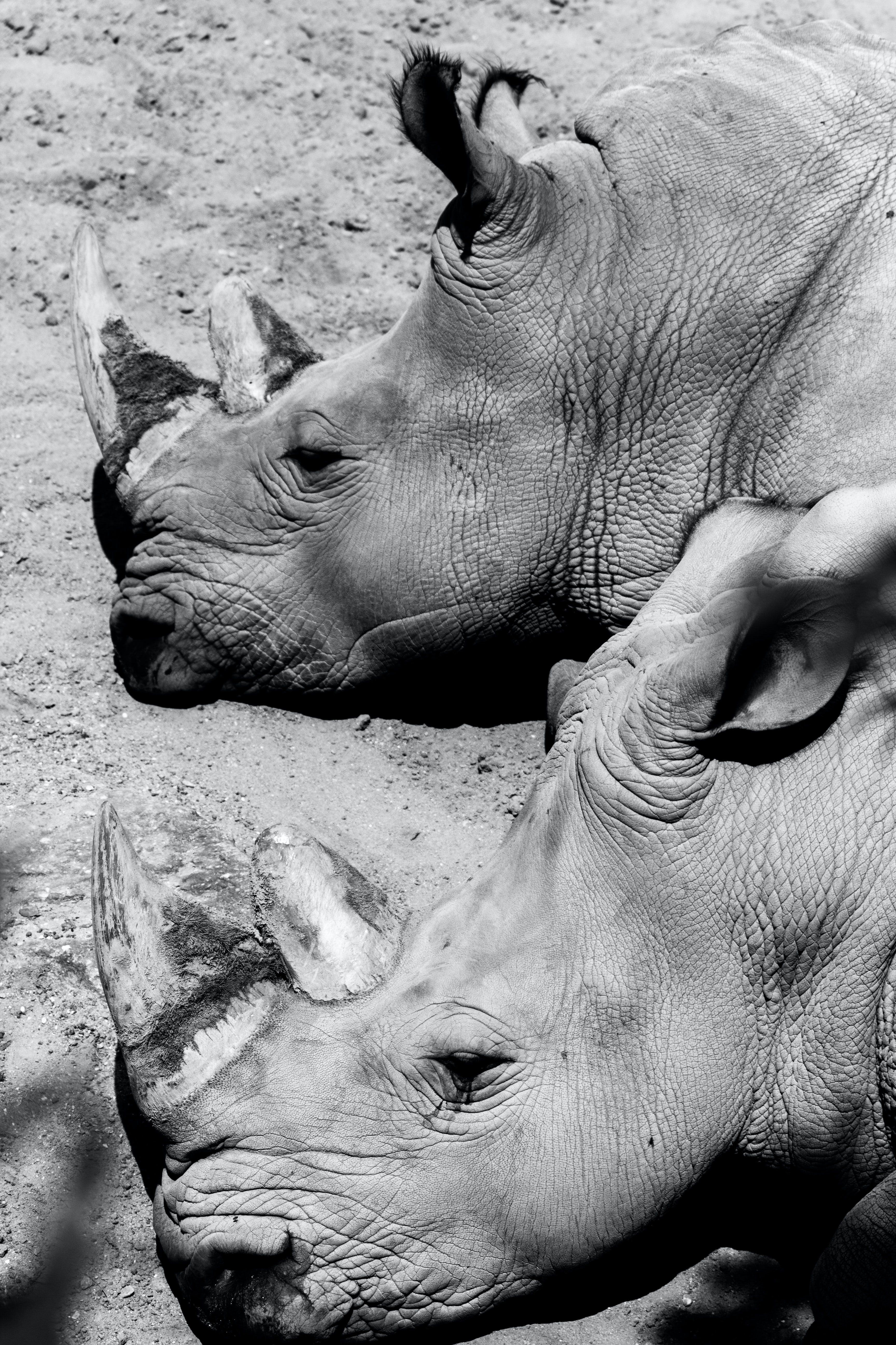 Black and white shot of two rhinos' heads laying on the ground in dirt