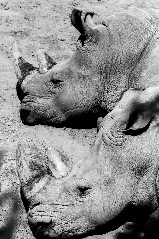 Rhinoceros Pictures | Download Free Images on Unsplash