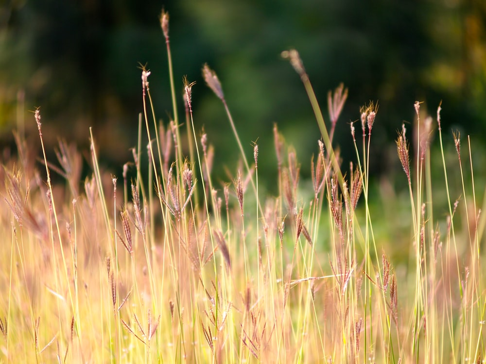brown grass in closeup photography