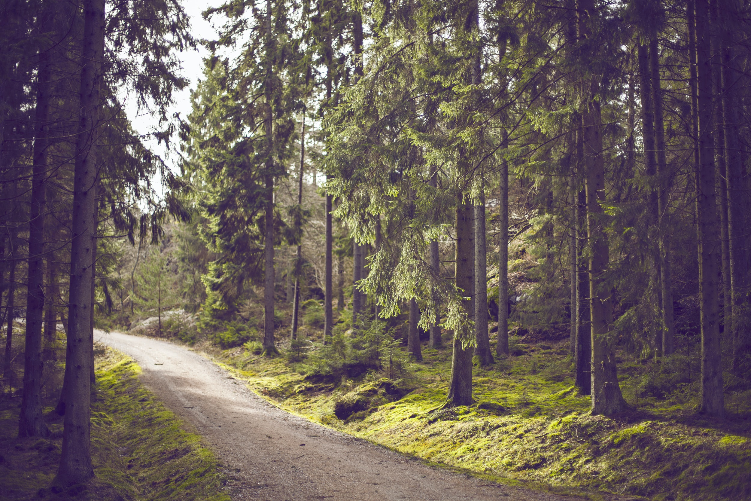 A dir path running down through a conifer forest