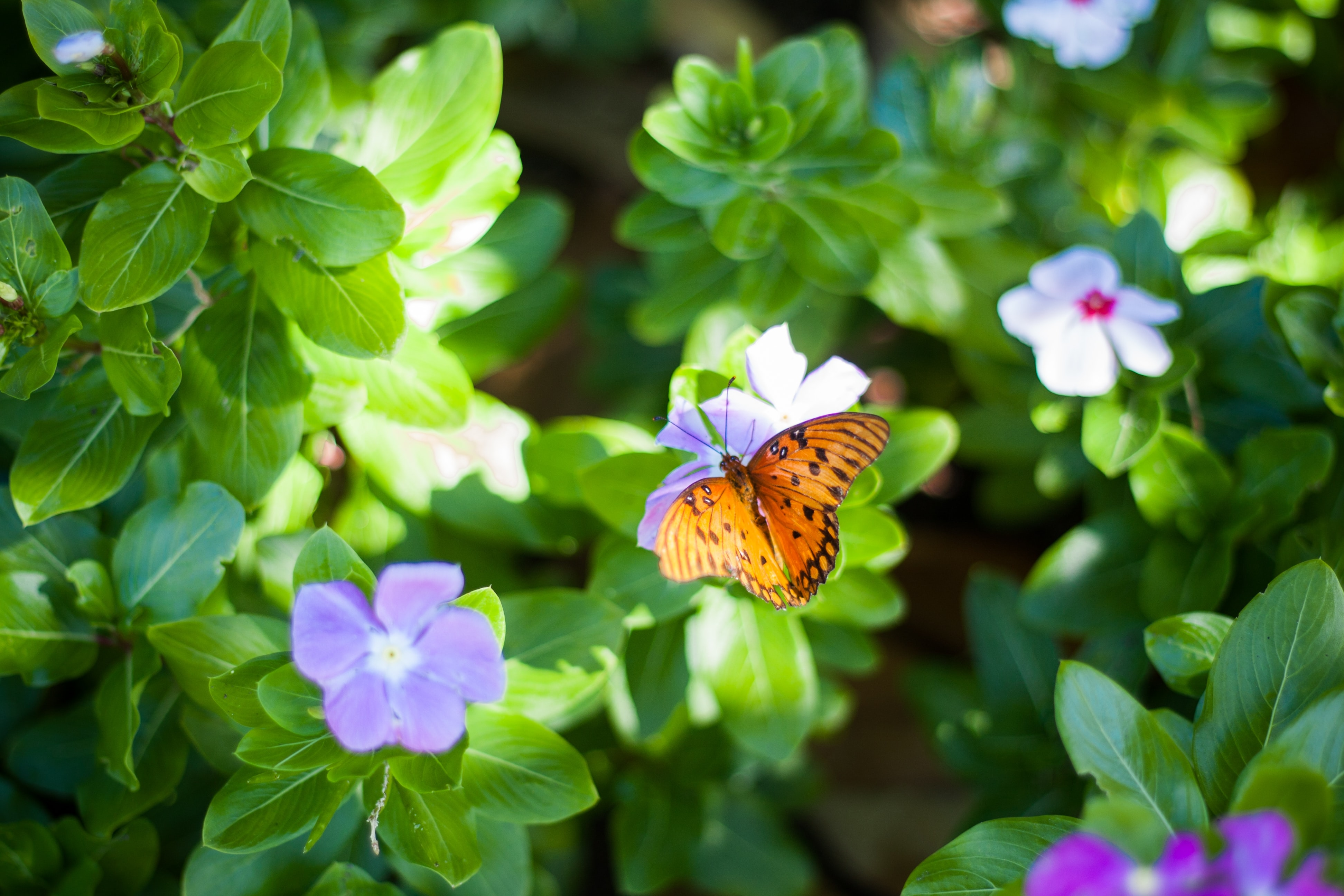 A top view of an orange butterfly sitting on violet flowers