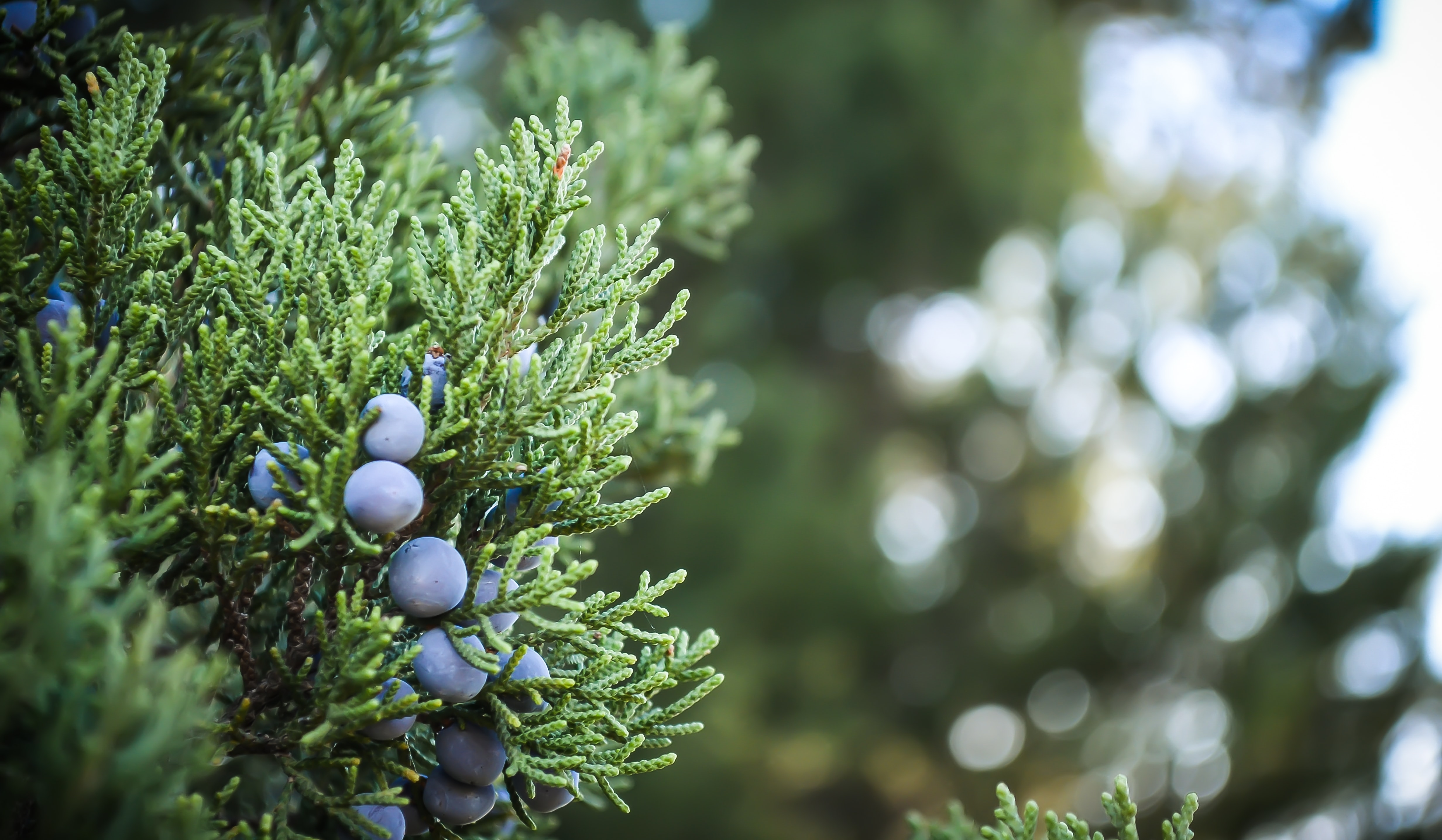 A close-up of a bunch of juniper berries on a branch
