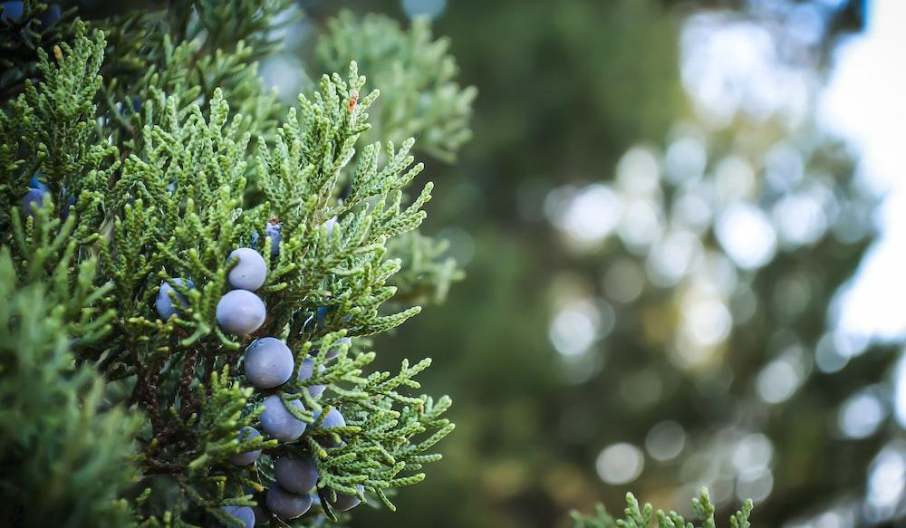 selective focus photography of purple berries