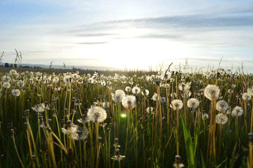 dandelion flower on green grass field